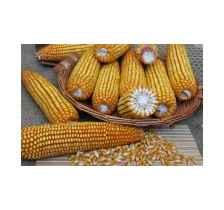 黑龍江玉米種子,高產穩產抗性好,中晚熟米質好,產量高批發