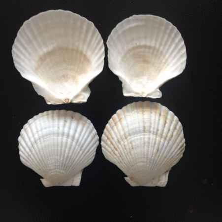 8cm夏夷贝扇贝壳加工生产